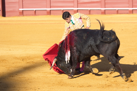 torero: Seville - May 16: Spanish torero is performing a bullfight at the bullfight arena on May 16, 2010 in Seville Spain. Corrida bullfighting of bulls, Spanish tradition where a torero bullfighter fights a bull.