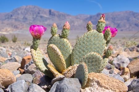 muerte: Floración del cactus de Beavertail en el Valle de la Muerte