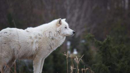 lone: Lone Wolf Stock Photo