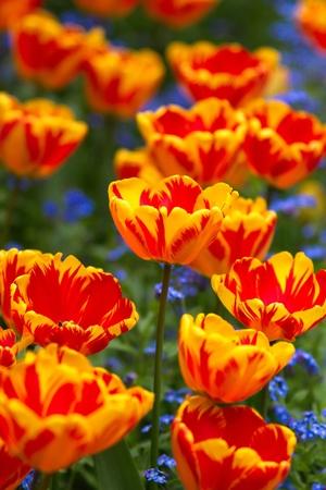 tulipan: Tulipany Zdjęcie Seryjne