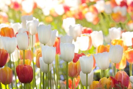 catchy: Tulips Stock Photo