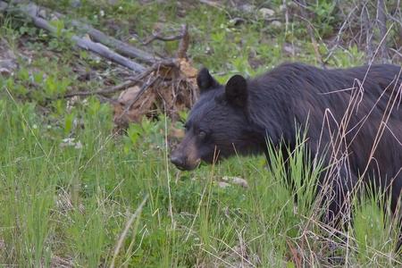 カナダのロッキー山脈の動物 写真素材