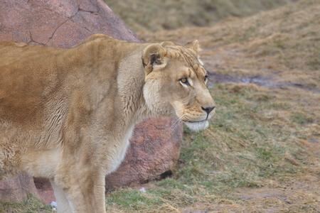 zimbabwe: Los gatos salvajes grandes Foto de archivo