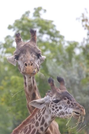 トロントでキリン動物園 写真素材