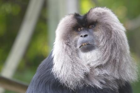 シシオザル トロントの動物園
