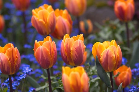 catchy: Tulips Stock Photo
