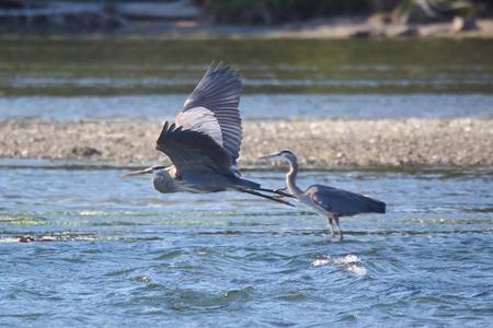 beine spreizen: Great blue herons Lizenzfreie Bilder