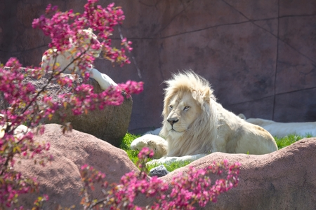 ホワイト ライオン