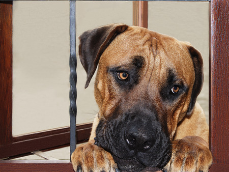 mans best friend: Large dog South African Boerboel looking longingly through window in to the house hoping to get in