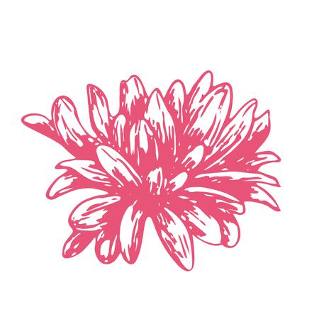 Pink sketch of a chamomile on a white background. Vector flower illustration , isolated floral elements, hand drawn botanical illustration, ink pattern. Medicine herbs. Illustration