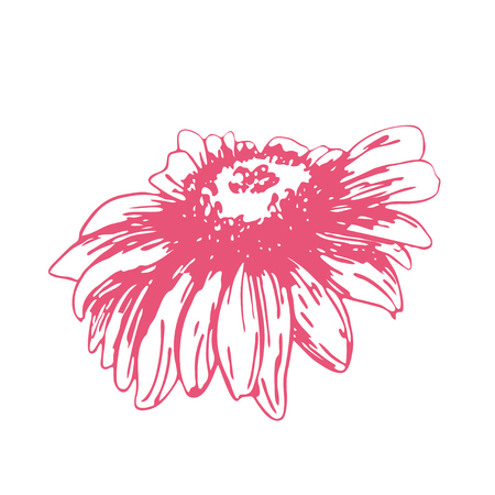 Pink sketch of a chamomile on a white background. Vector flower illustration , isolated floral elements, hand drawn botanical illustration, ink pattern. Medicine herbs. Illustration