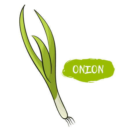 Vector illustration of a green onion. Sketch, color. Vivid picture of a vegetable. Fresh food