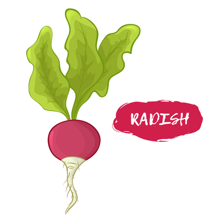 Colored illustration of a radish on a white background