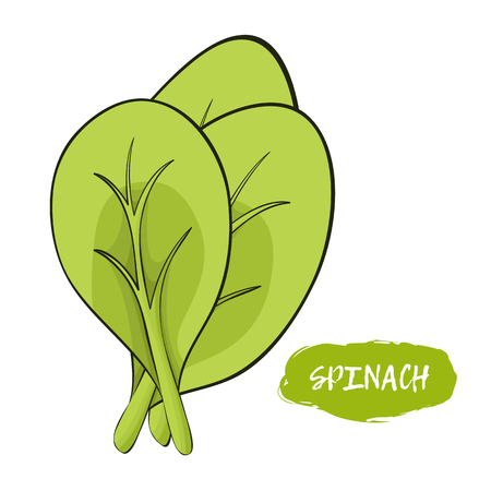Vector illustration of spinach. Sketch, color. Vivid picture of a vegetable. Fresh food.