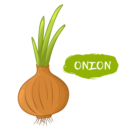Vector illustration of an onion. Sketch, color. Vivid picture of a vegetable. Fresh food