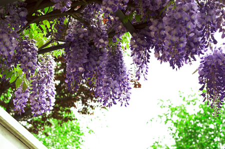 Wisteria bloomed in the city park