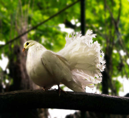 Purebred Dove on a Tree Branch