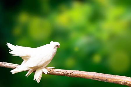 Dove on a tree branch on a green blurred background