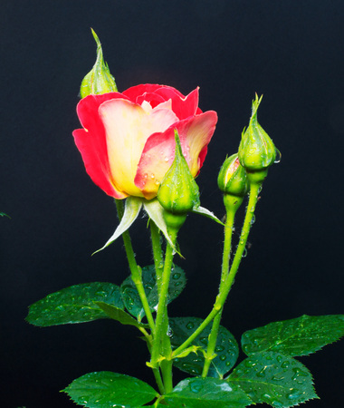 Buds of red roses in the garden and morning dew on them on a dark background.