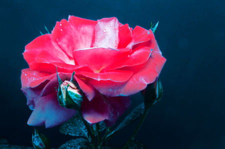 Beautiful red rose on a dark background close-up.