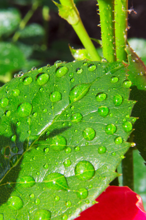 Macro photography of a green leaf of a rose with drops of dew.