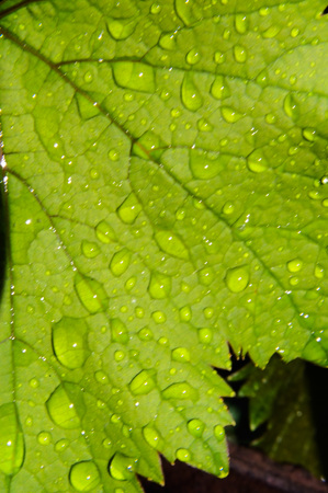 Close-up of dew drops on a vine leaf.