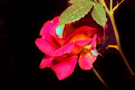 Macro photography of a red rose on a dark background.