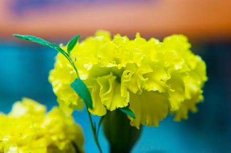Gelbe Nelke auf unscharfem Hintergrund. Standard-Bild