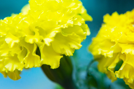 Macro filming of a yellow carnation.