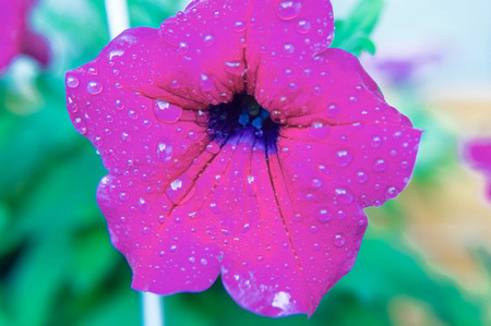 Violet Petunias with drops in close-up