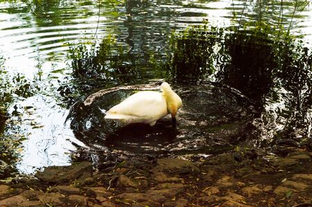 White swan in the water of the lake of the city park. Banco de Imagens