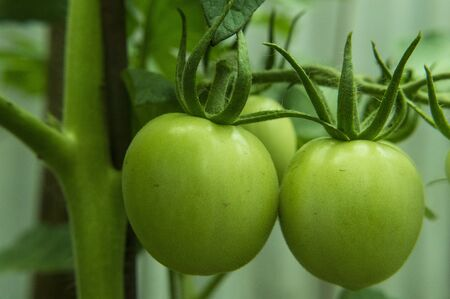 Green tomatoes in the garden 写真素材