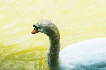 Beautiful white swan on the lake alone 写真素材