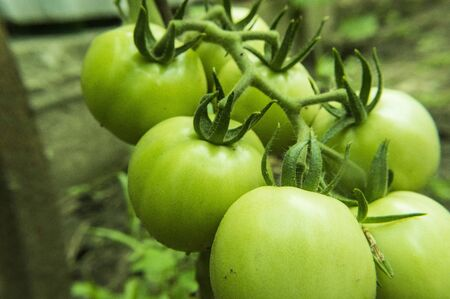 Green tomatoes on the farm close up 写真素材