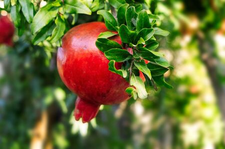 Red pomegranate on a tree in the autumn garden 写真素材