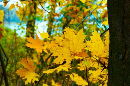 Yellow leaves on trees in a forest in autumn