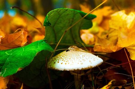White mushroom under autumn foliage in the forest