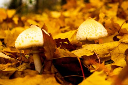Two white mushrooms in yellow autumn foliage in the forest in autumn 写真素材