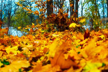 Bright colors of yellow and orange autumnal foliage in the forest Stock fotó