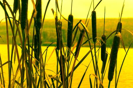 Reed thickets at sunset on the lake. 写真素材