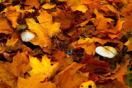 Yellowed leaves and mushrooms on the ground in the forest in autumn