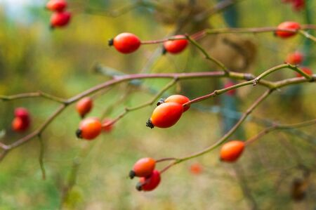 Red rose hips on the bushes in late autumn