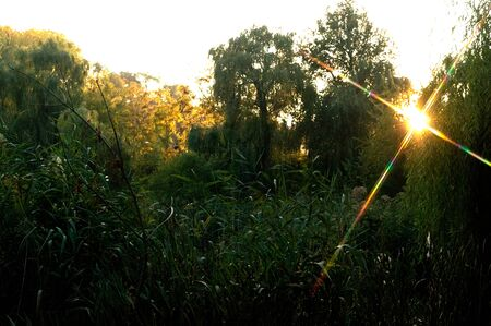 The reed thickets in the park in the sun at sunset