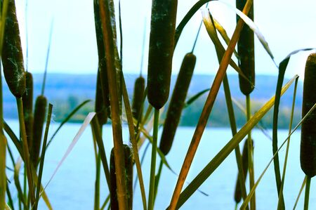 Reed plants on the lake in late autumn Stock fotó