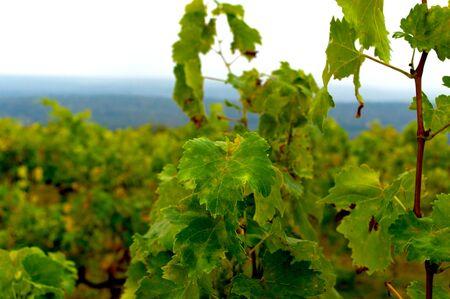 Vine plantations in late autumn