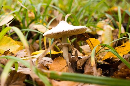 Mushroom in the autumn foliage of the forest Imagens - 133510230