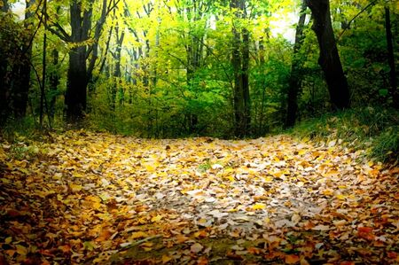 Forest road strewn with autumn leaves