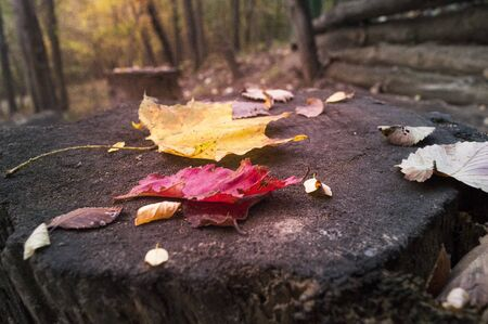 Yellow and orange leaves of trees on the stump in old forest Imagens