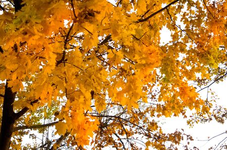 Orange-red and yellow leaves of trees in late autumn Imagens