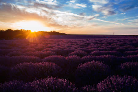 Lavender field at sunset with unusual colors.